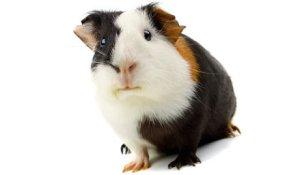 Pet-Guinea-Pig-marsvin_framifran